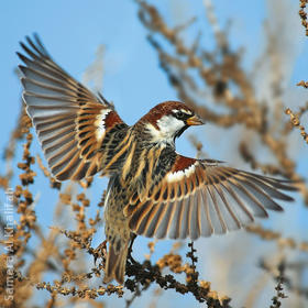 Spanish Sparrow (Male)
