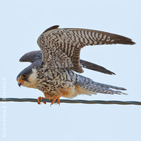 Amur Falcon (Female)