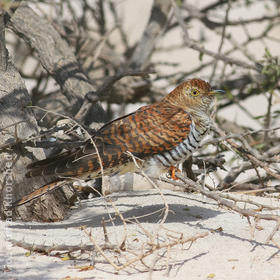 Common Cuckoo (Female rufous morph)