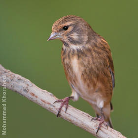 Common Linnet (Non-breeding plumage)