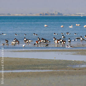 Common Shelducks