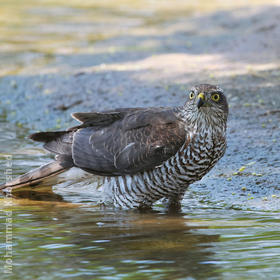 Eurasian Sparrowhawk (Female)