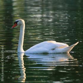 Mute Swan (GERMANY)