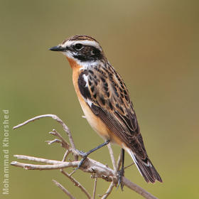 Whinchat (Male breeding plumage)