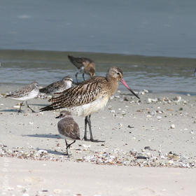 Bar-tailed Godwit (Non - breeding)
