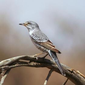 Barred Warbler (Male)