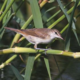 Basra Reed Warbler (Juvenile)