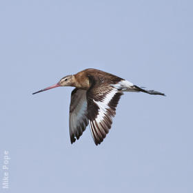 Black-tailed Godwit (Autumn)