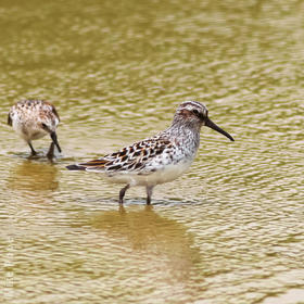 Broad-billed Sandpiper (Breeding plumage)