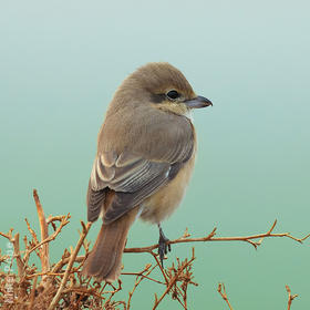 Daurian Shrike (Female winter)