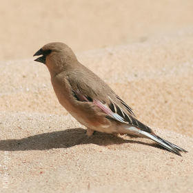 Desert Finch (Breeding plumage)