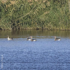 Eastern Greylag Geese