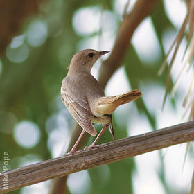 Eastern Nightingale