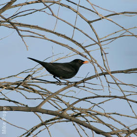 Eurasian Blackbird (Male)