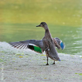 Eurasian Teal (Female)