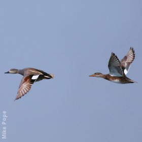 Gadwall (Male and female)