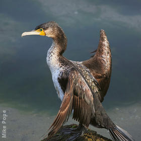 Great Cormorant (Immature)