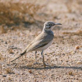 Greater Hoopoe-Lark (Male)