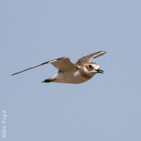 Greater Sand Plover (Non - breeding)