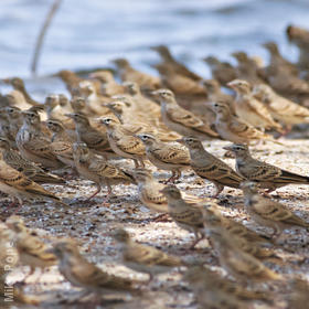 Greater Short-toed Lark (Migrating flock in autumn)