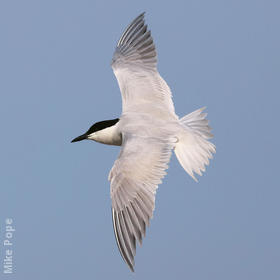 Gull-billed Tern (Breeding plumage)