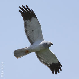 Hen Harrier (Male)