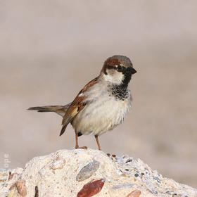 House Sparrow (Male winter)