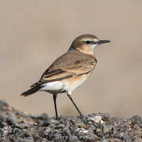 Isabelline Wheatear (Summer)