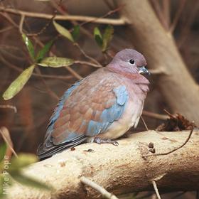 Laughing Dove (Juvenile)