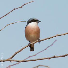 Lesser Grey Shrike (Breeding plumage)
