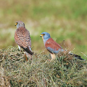 Lesser Kestrel (Female, left and male, right)