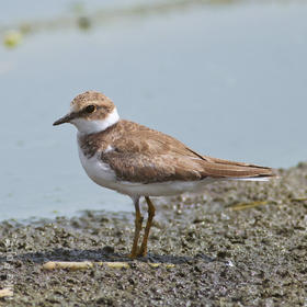 Little Ringed Plover (Autumn immature)