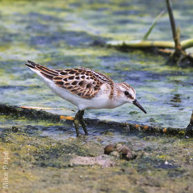 Little Stint (Autumn)