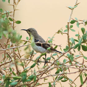 Purple Sunbird (Winter)