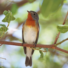Red-breasted Flycatcher (Male breeding plumage)