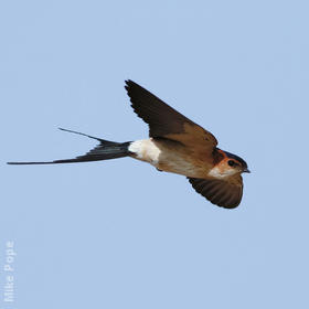 Red-rumped Swallow (Male)