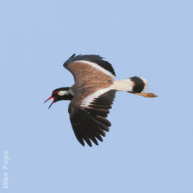 Red-wattled Lapwing (UAE)