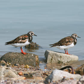 Ruddy Turnstone (Breeding plumage)