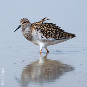 Ruff (Female spring)