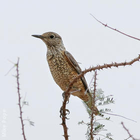Rufous-tailed Rock Thrush (Female)