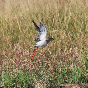 Spotted Redshank (Non - breeding)