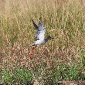 Spotted Redshank (Non-breeding)