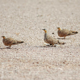 Spotted Sandgrouse (Males,OMAN)