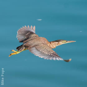 Striated Heron (Immature, UAE)
