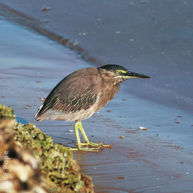 Striated Heron (UAE)