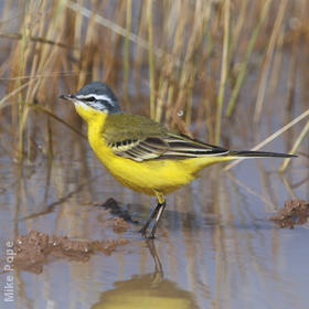 Sykes's Wagtail (Male)