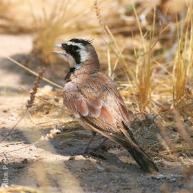 Temminck's Lark (Male)