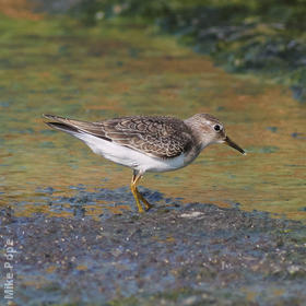Temminck's Stint (Early autumn)
