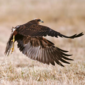 Western Marsh Harrier (Immature)