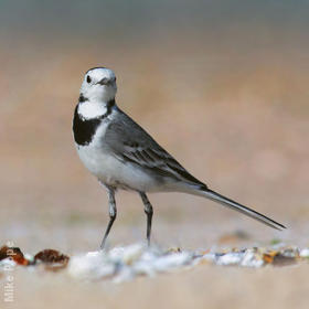 White Wagtail (Non-breeding plumage)
